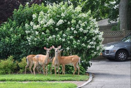 Deer in Suburban Neighborhood